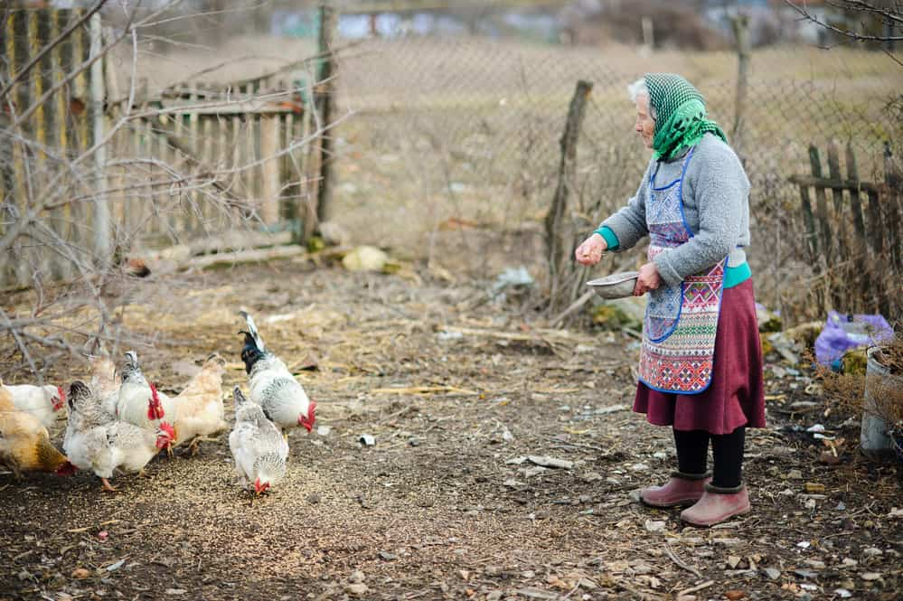 babushka feeding chickens